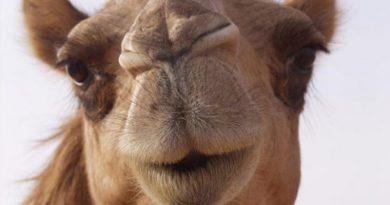 deve dolması nasıl yapılır